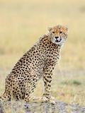 Wild African Cheetah  Beautiful Mammal Animal Africa  Kenya