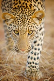 The Leopard Is Member of Felidae Family