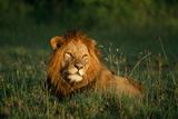 Male Lion Masai Mara National Park Kenya