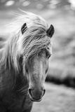 Portrait of Icelandic Horse in Black and White