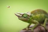 Hoverfly Flying Past a Jackson's Chameleon (Trioceros Jacksonii)