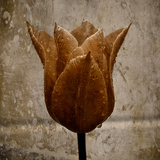 A Tulip with Vintage Colour and Textures Added