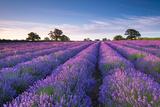 Lavender Field at Dawn  Somerset  England Summer 2014