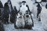 Chinstrap Penguins Antarctica
