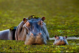 Mother and Baby Hippo Okavango Delta Botswana