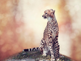 Cheetah Sitting on a Hill and Looking Around