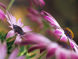 Osteospermum Silvia or African Daisy Differentially Focused