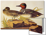 American Green-Winged Teal