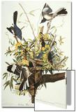 Mocking Bird Northern Mockingbird (Mimus Polyglottos)  Plate Xxi  from 'The Birds of America'