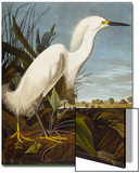 Snowy Heron or White Egret / Snowy Egret (Egretta Thula)  Plate CCKLII  from 'The Birds of America'