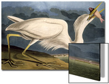 "Great White Heron from ""Birds of America"""