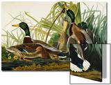 Mallard Duck Mallard (Anas Platyrhynchos)  Plate Ccxxi  from 'The Birds of America'