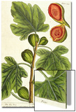 The Fig Tree  Plate 125 from 'A Curious Herbal'  published 1782