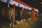 Woman Dressed in Red Walking Past Stalls of Clydesdale Horses at the Iowa State Fair  1955