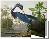 Héron de Louisiane, recueil Les oiseaux d'Amérique Acrylique par John James Audubon