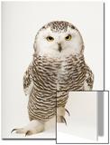 A Female Snowy Owl, Bubo Scandiacus, at Raptor Recovery Nebraska Acrylique par Joel Sartore