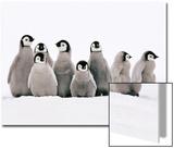 Emperor Penguin Chicks, Aptenodytes Forsteri, Weddell Sea, Antarctica Acrylique par Frans Lanting