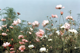 Cosmos Flowers at Beetlebung Corner  Martha's Vineyard  Massachusetts 1960S
