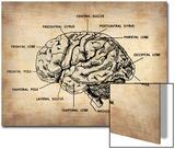 Vintage Brain Map Anatomy
