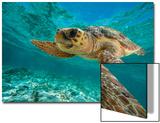 A Loggerhead Turtle Swims in Hol Chan Marine Reserve Acrylique par Brian J. Skerry