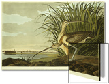 Male And Female Long Billed Curlew (Numenius Americanus) with the City of Charleston Behind Acrylique par John James Audubon