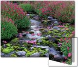 Monkeyflowers along Paradise Creek  Mt Rainier National Park  Washington  USA