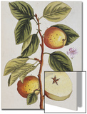 Apple Tree (Malus Sativa)  1739