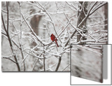 Cardinal on Snow Covered Trees