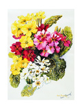 Primroses  White  Yellow  Pink and Red  2000