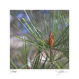 Pine Bud
