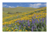 Balsamroot and Lupine 2