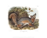 Canis (Vulpes) Virginianus  Grey Fox