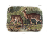 Cervus Virginanus  Common or Virginian Deer  Old male and female