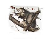 Didelphis Virginiana  Virginian Opossum