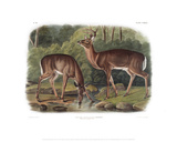 Cervus Virginanus  Common or Virginian Deer  Old male and female