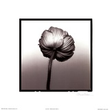 Translucent Poppy II