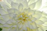 Close Up of a White Dahlia Flower