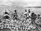 Pineapple Cultivation in Hawaii  1920s