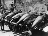 Transport of Tuna Fish in Palermo  1938