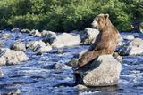 Brown Bear (Ursus Arctos) Sitting on Rock in River  Kamchatka  Russia