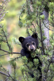 Portrait of a Black Bear Cub  Ursus Americanus  Climbing in a Pine Tree