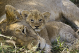 African Lion (Panthera Leo) Mother Resting with Cub  Vulnerable  Masai Mara Nat'l Reserve  Kenya