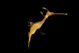A weedy seadragon  Phyllopteryx taeniolatus  at the Dallas World Aquarium