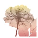 Rose Dawn 1