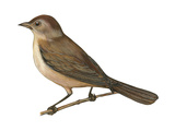 Nightingale (Luscinia Megarhynchos)  Birds