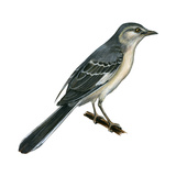 Northern Mockingbird (Mimus Polyglottos)  Birds