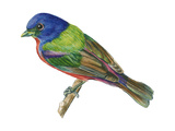 Painted Bunting (Passerina Ciris)  Birds
