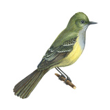 Great Crested Flycatcher (Myiarchus Crinitus)  Birds