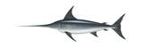 Swordfish (Xiphias Gladius)  Fishes