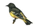 Scott's Oriole (Icterus Parisorum)  Birds